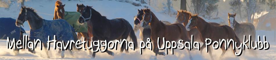 Mellan havretuggorna på Uppsala Ponnyklubb